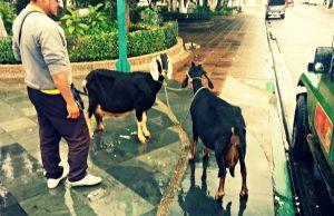Leche de cabra a domicilio